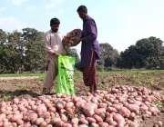 ملتان: کسان بوریوں میں آلو پیک کر رہے ہیں۔