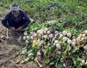 فیصل آباد: ایک کسان کھیت سے شلجم چن رہا ہے۔