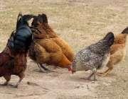 لاہور: باغ جناح میں مرغیاں دانا دمکا کھا رہی ہیں۔