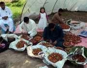 لاہور: کسان اسٹرابری فروٹ منڈی لیجانے کے لیے ٹوکریوں میں ڈال رہے ہیں۔