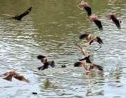 حیدر آباد: پرندے شہریوں کی جانب سے پانی میں پھینکا گیا گوشت اٹھا رہے ..