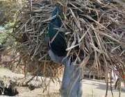 حیدر آباد: ایک شخص اپنے گھر کا چولہا جلانے کے لیے خشک لکڑیاں اٹھائے ..