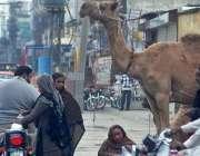 راولپنڈی: خانہ بدوش خواتین اونٹنی کا دودھ فروخت کر رہی ہیں۔