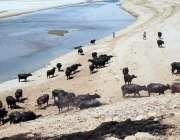 حیدر آ باد: دریائے انڈس کے خشک حصے پر بھینسیں رکھی گئی ہیں۔
