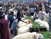 چنیوٹ: بکرا منڈی سے شہری بکرے خرید رہے ہیں۔