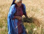 حیدر آباد: ایک معمر خاتون کھیت سے گندم چن رہی ہے۔