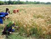 حیدر آباد: خواتین کھیت سے گندم چن رہی ہیں۔