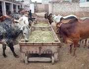 پشاور: عید قربان کی آمد کے موقع پر مویشی منڈی میں قربانی کے لیے جانور ..