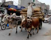 راولپنڈی: دور جدیدمیں آج بھی ایک محنت کش بیل گاڑی پر سامان لادے اپنی ..