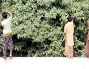 لاہور: نوجوان درخت سے شہتوت توڑ رہے ہیں۔