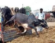 پشاور: عید قربان کی آمد کے موقع پر مویشی منڈی جانور لائے جا رہے ہیں۔