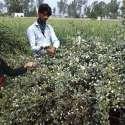 فیصل آباد: نوجوان چمبیلی کے پھول توڑ رہے ہیں۔