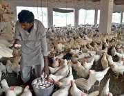 ملتان: مزدور پولٹری فارم سے انڈے اکٹھے کر رہا ہے۔