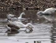 فیصل آباد: بطخیں پانی میں تیر رہی ہیں۔