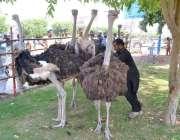 ملتان: شتر مرغ فروخت کے لیے سجائے گئے ہیں۔