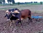 چنیوٹ: کسان روایتی انداز سے کھیتوں میں ہل چلا رہا ہے۔