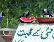 حیدر آباد: کوا دیوار پر رکھا گیا تربوز کھا رہا ہے۔
