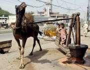لاہور: روایتی کولہو سے اونٹ کے دریعے تیل نکالا جا رہا ہے۔