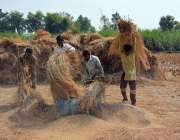 فیصل آباد: کسان چاول کی کٹائی میں مصروف ہیں۔
