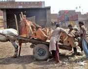 فیصل آباد: مزدور لکڑی کے بڑے پیس گدھا ریڑھی پر لوڈ کر رہے ہیں۔