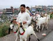 اسلام آباد: بیوپاری بکرے فروخت کے لیے مویشی منڈی کی جانب جارہا ہے۔
