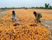 سرگودھا: محنت کش مکئی کی چھلیاں خشک کرنے کے لیے دھوپ میں پھیلا رہے ہیں۔