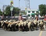فیصل آباد: ٹریفک پولیس کی نا اہلی، ایک چرواہا سڑک کے درمیان سے بھیڑیں ..
