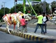 حیدر آباد: عیدالاضحی کی آمد کے موقع پر شہری قربانی کے لیے گائے خرید ..