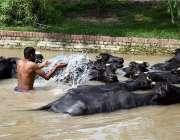 لاہور: ایک شخص اپنی بھینسوں کو نہر میں نہلا رہا ہے۔