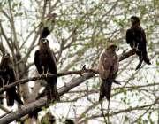 لاہور: چیلیں دوپہر کے وقت شدید گرمی کے باعث درخت پر بیٹھی ہیں۔