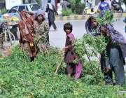 حیدر آباد: خانہ بدوش خواتین درختوں کی ٹہنیاں اکٹھی کر رہی ہیں۔