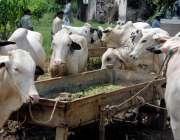 راولپنڈی: عیدالاضحی کی آمد کے موقع پر فروخت کے لیے منڈی میں لائے گئے ..