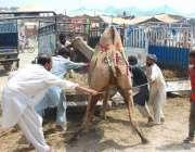 فیصل آباد: عیدالاضحی کی آمد کے موقع پر قربانی کے لیے خریدے گئے اونٹ ..