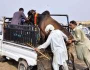 اسلام آباد: عیدالاضحی کی آمد کے موقع پرقربانی کے لیے خریدی گئی گائے ..
