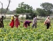 فیصل آباد: کسان کھیت سے سبزی چن رہے ہیں۔