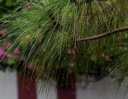 راولپنڈی:بارش کے دوران درختوں کے پتوں سے گرتے بارش کے پانی کے قطرے خوبصورت ..