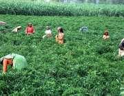 ملتان: کسان خواتین کھیت سے سبزی چن رہی ہیں۔