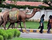 راولپنڈی: راولپنڈی: اونٹھنی کا دودھ فروخت کرنیوالی خانہ بدوش خواتین ..
