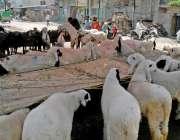 راولپنڈی: سڑک کنارے فروخت کے لیے بندھے قربانی کے جانور چارہ کھا رہے ..
