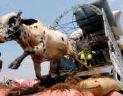 راولپنڈی: عیدالاضحی کی آمد کے موقع پر فروخت کے لیے لائے گئے جانور گاڑی ..
