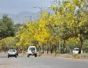 اسلام آباد: وفاقی دارالحکومت میں روڈ کنارے لگے درختوں پر کھلے پھول ..
