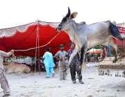حیدر آباد: عیدالاضحی کی آمد کے موقع پر مویشی منڈی میں جانور ٹرک سے اتارے ..