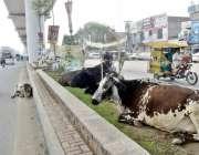 لاہور: جی ٹی روڈ پر گائیں سڑک کنارے اورج ڈیوائیڈر پربیٹھی ہیں۔