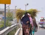 ملتان: کسان خواتین کھیتوں سے چاول کے تنے کاٹ کر لیجا رہی ہیں۔
