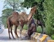 اسلام آباد: خانہ بدوش شخص درخت کے سائے تلے بیٹھا ہے جبکہ اونٹ درخت سے ..