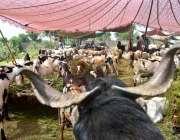 ملتان: عیدالاضحی کی آمد کے موقع پر مویشی منڈی میں لائے گئے جانور۔
