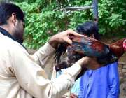 حیدر آباد: شہری مرغا خریدنے کے لیے پسند کر رہا ہے۔