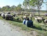 پشاور: چرواہے مقامی دیہار میں بھیڑیں چرا رہے ہیں۔