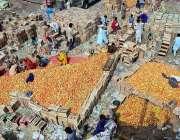 حیدر آباد: مزدور لکڑی کے کے کریٹوں میں ٹماٹر پیک کر رہے ہیں۔
