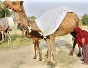 اسلام آباد: وفاقی درالحکومت میں خانہ بدوش خاتون اونٹنی کا دودھ فروخت ..